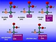 C17 AMINOÁCIDOS: Deben ser captados como parte de los alimentos y se los llama esenciales; la carencia de estos en la dieta limita el desarrollo del organismo, ya que no es posible reponer las células de los tejidos que mueren o crear tejidos nuevos, en el caso del crecimiento. Los aminoácidos esenciales son: Valina - Leucina - Treonina - Lisina - Triptófano - Histidina - Fenilalanina - Isoleucina - Arginina - Metionina. Los aminoácidos pueden sintetizarse en el propio organismo