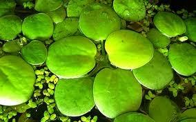"""(8) 3000 millones de años (aC) - Se reúnen varias células para formar plantas acuáticas con células múltiples a las cuales se les denomina """"Vulvox""""."""